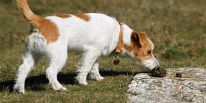 What is Coprophagia? The Dangers of Your Dog Eating Its Own Poop | POOP 911 Blog