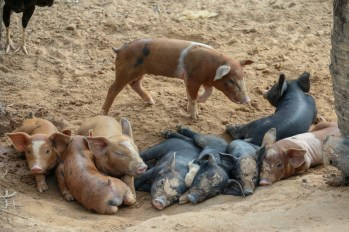 Piglets by the road