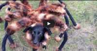 Dog dresses up as giant spider and scares the crap out of ...