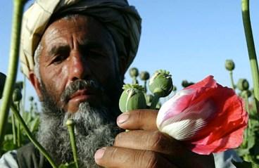 Il momento dell'estrazione dell'oppio dal fiore di papavero.