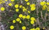 Sonchus tenerrimus (grespino sfrangiato)