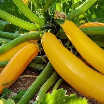 Courgette - Zucchini Yellow - Golden