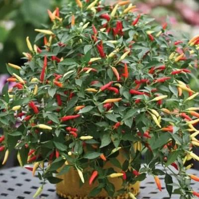 Hot Chilli Pepper Patio Fire
