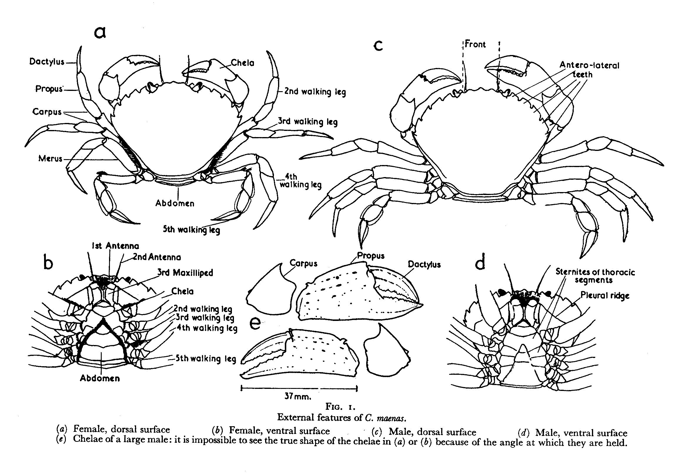 crab anatomy diagram 2000 chevy silverado radio wiring dungeness related keywords
