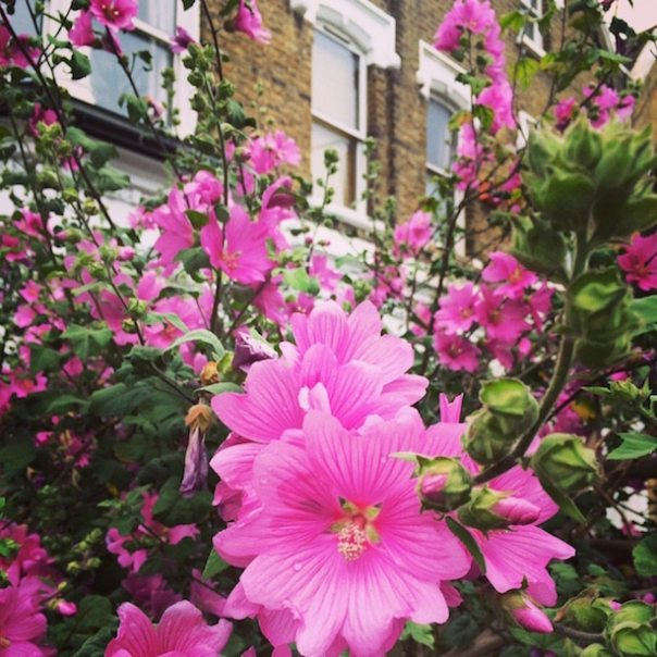 Pink Flowers in Finsbury Park