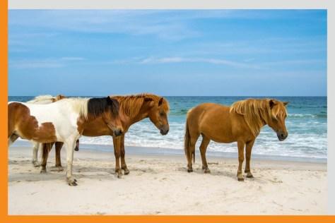 wild horses in assateague island national seashore