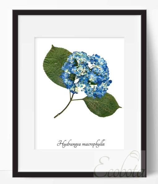 blue-hydrangea-art-print-pop-shop-america