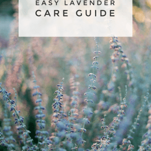 how to grow lavender garden guide pop shop america