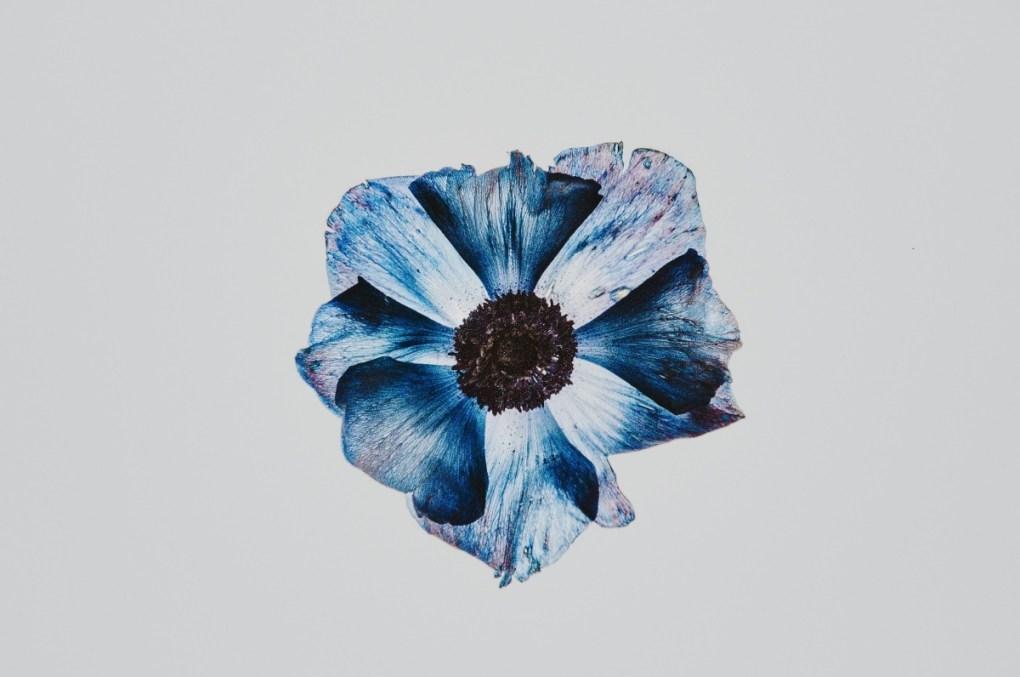 blue petunia free pressed flower art pop shop america
