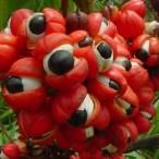 5 Major Benefits of Guarana