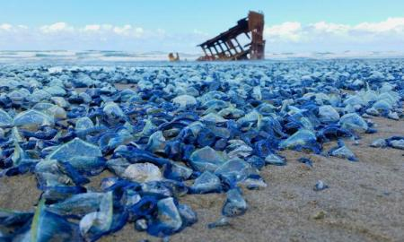 1_oregonjellies_velella-velella-1-of-1-3sfw-ngsversion-1429632000598-adapt-768-11