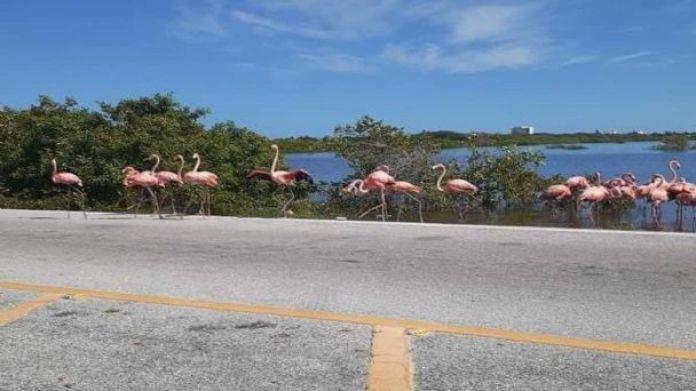 Piden conducir con precaución por la presencia de flamingos en carreteras  de Yucatán | PorEsto