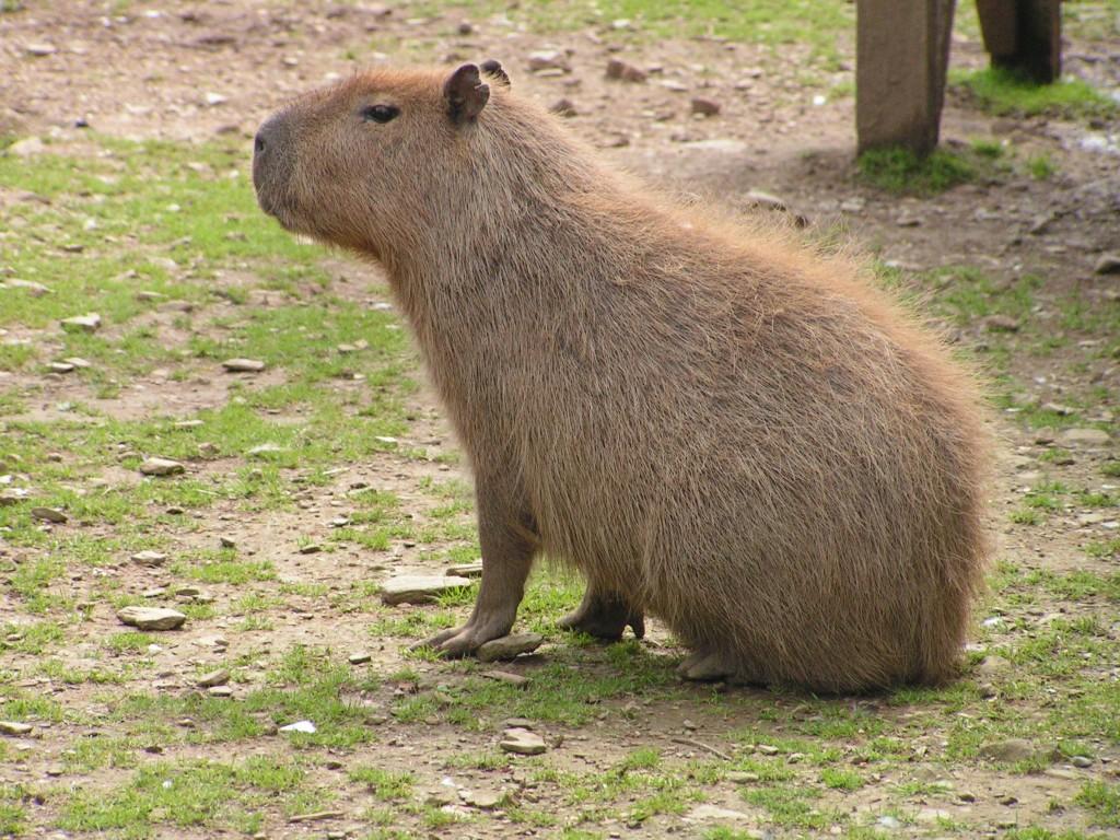 A capybara.
