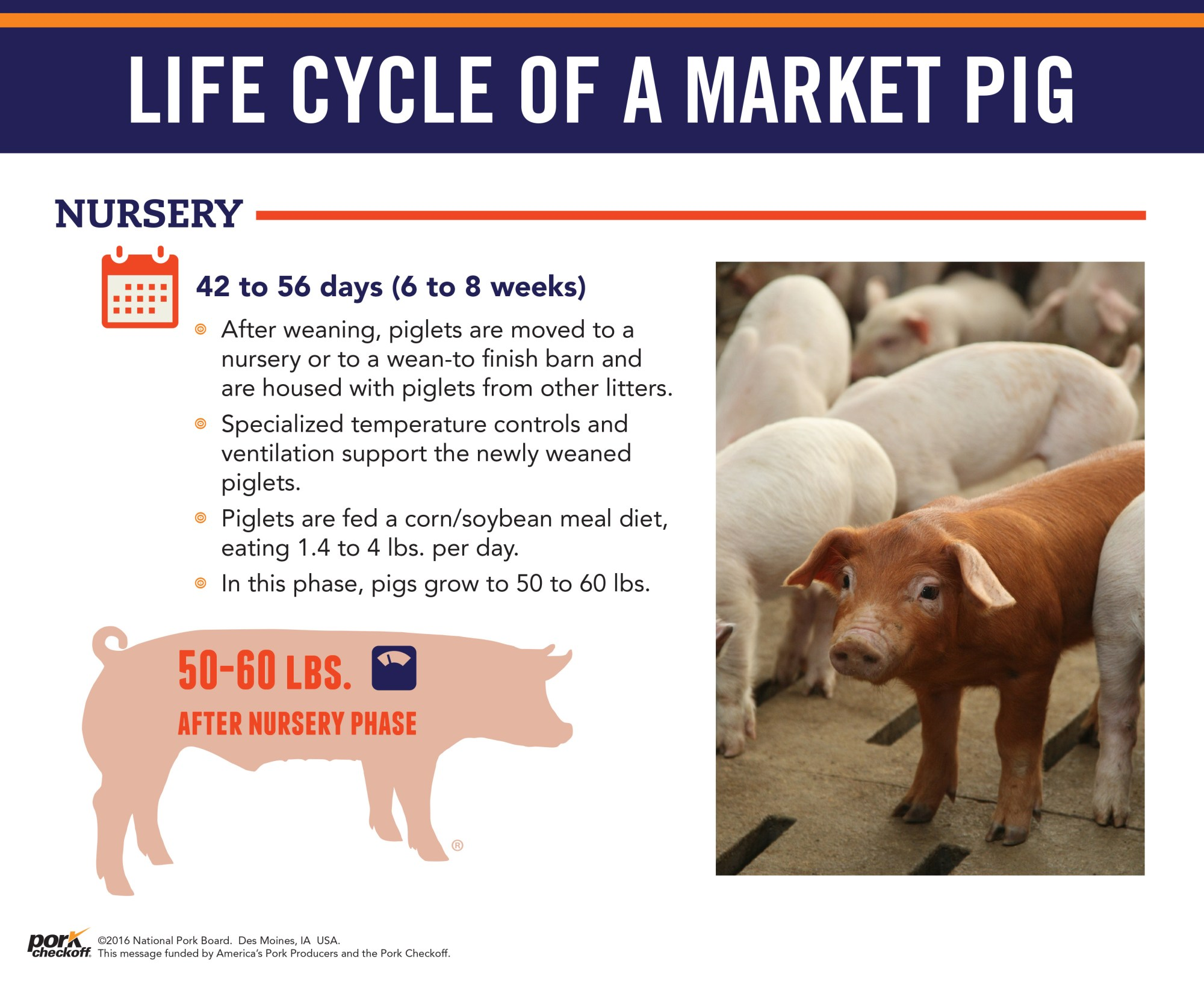 hight resolution of  life cycle of a market pig nursery