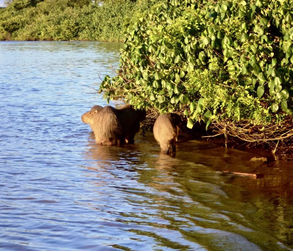 Capibaras en Itajaí.