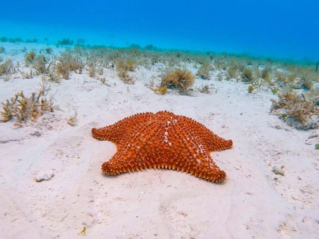 Estrella de mar de Cozumel.