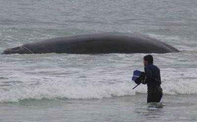 baleiafranca-encalhada-pantanodosul.jpg
