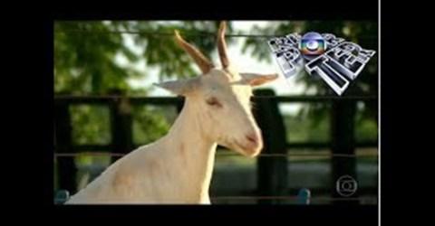 Resultado de imagem para Bode da Paraíba é destaque em matéria especial do Globo Repórter da Rede Globo de Televisão