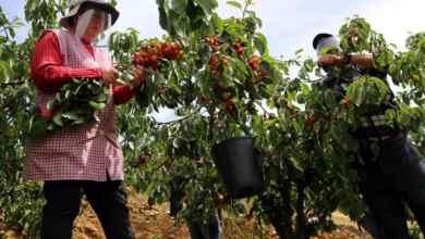 """Photo of Máscaras e viseiras """"invadem"""" pomares de cereja no Fundão. Produtores de cereja do Fundão pedem apoio ao Governo"""