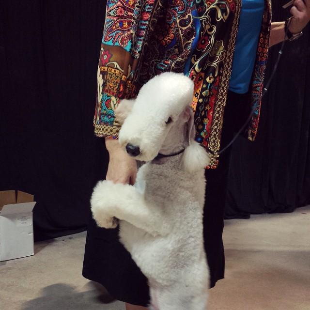 Bedlington Terrier (Foto: Reprodução / Bark Post)