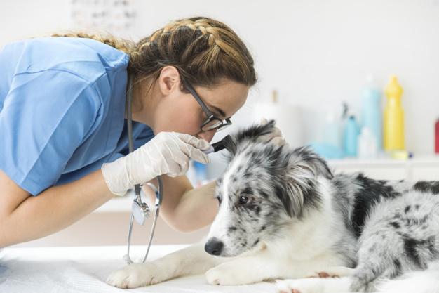 examinando o cão