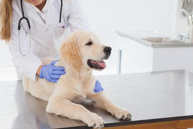 exame veterinário em cães