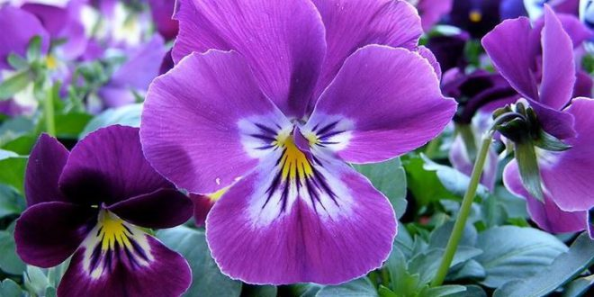 Viola Come Curare E Coltivare Le Viole In Vaso E In Giardino