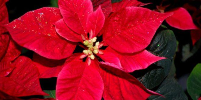 Stella Di Natale Cosè Cura E Consigli Per Farla Vivere A