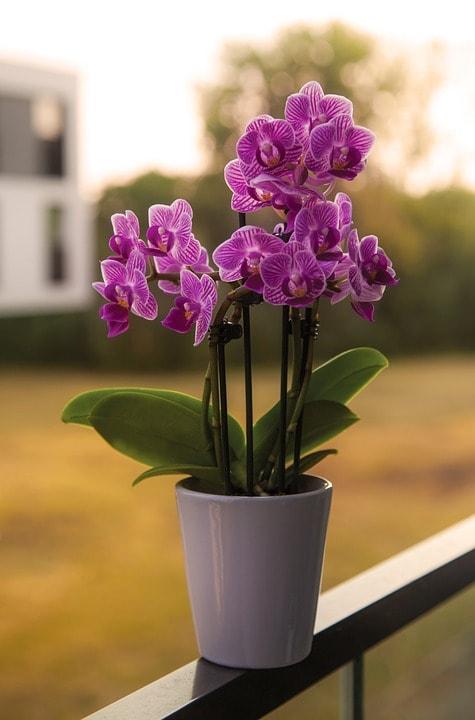 Orchidea Come Curarla Prima E Dopo La Fioritura