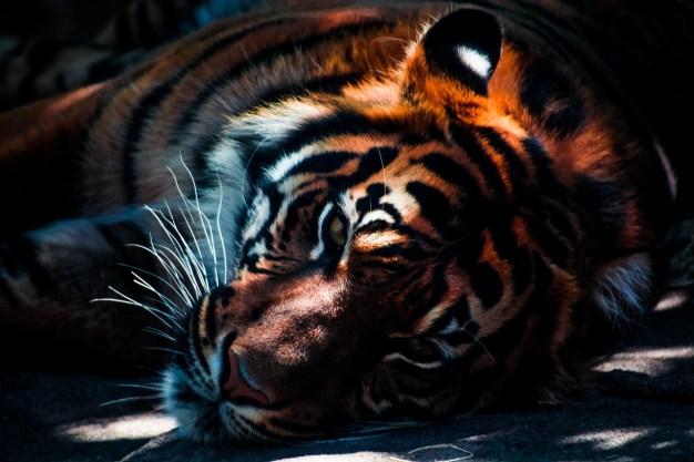numero-di-tigri