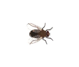 mosca-delle-mansarde