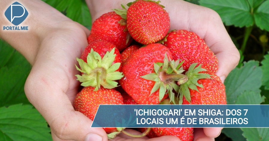 &nbspShiga Prefecture: Sweet and juicy strawberries to pick and eat in Shiga