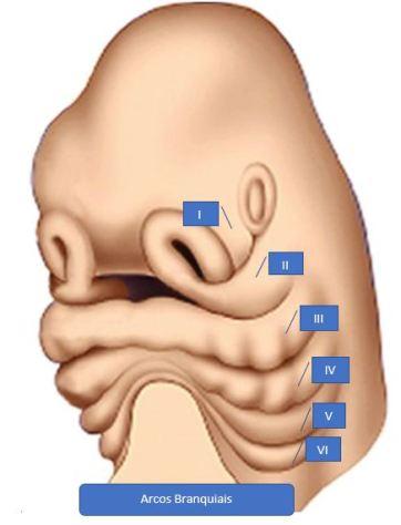 Embriologia do Coloboma Auris - imagem 1
