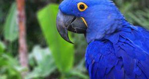 el guacamayo azul no esta extinto