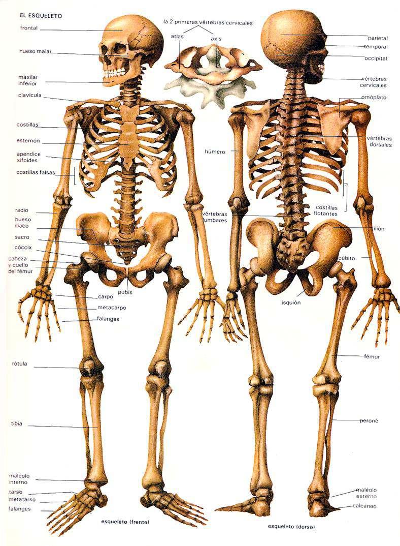Sistema Esqueletico | humano2