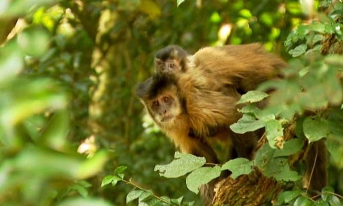 Macaco Prego Febre Amarela
