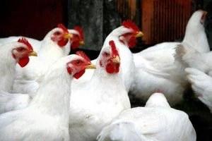 gripe-aviaria
