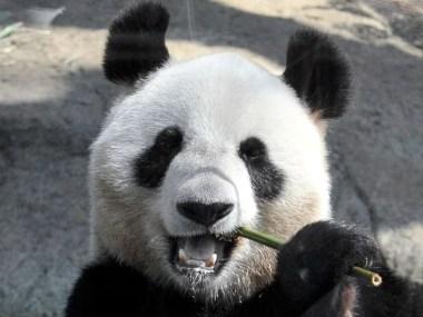 Pandas podem ajudar a criar biocombustíveis