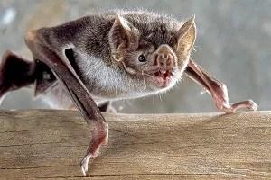 Doença transmitida pelo morcego pode causar raiva
