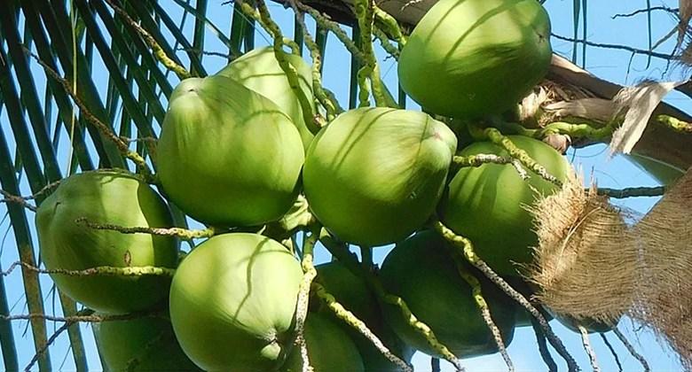 Fruto do coqueiro-da-bahia tem substância promissora contra vírus HSV-1