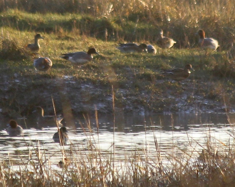 Wigeon grazing