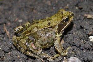 Portbury Wharf's amphibians a migrating frog