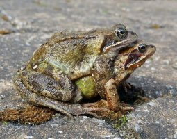 paired up frogs
