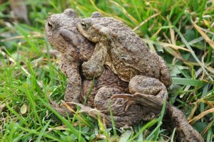 paired up toads