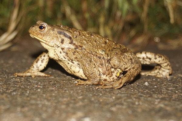 One of Portbury Wharf's Amphibians - toad