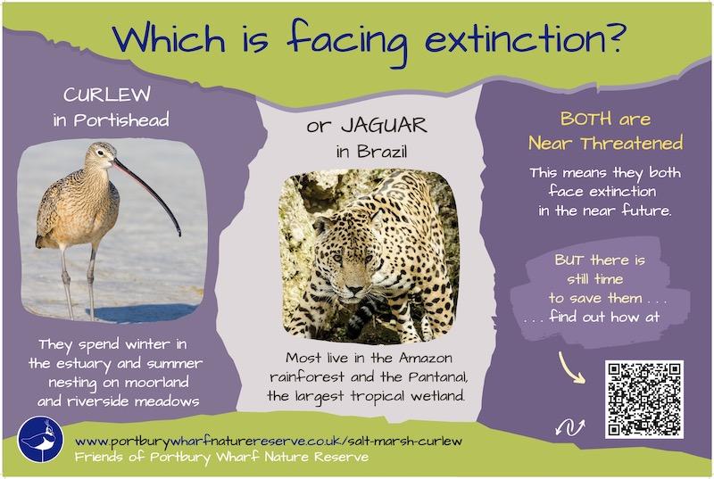Salt marsh curlew facing extinction