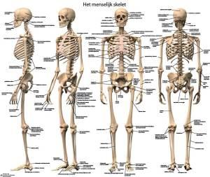 anatomische poster menselijk skelet