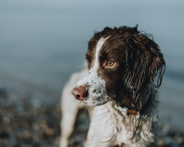 english springer spaniel, photograpy