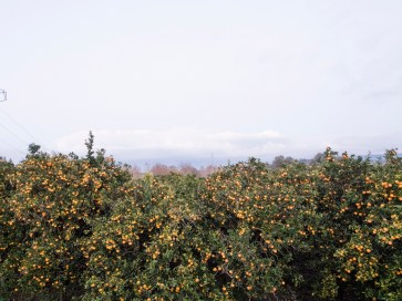 Italy, Calabria, Rosarno. 2015. A big orchard of oranges in the countryside of Rosarno.