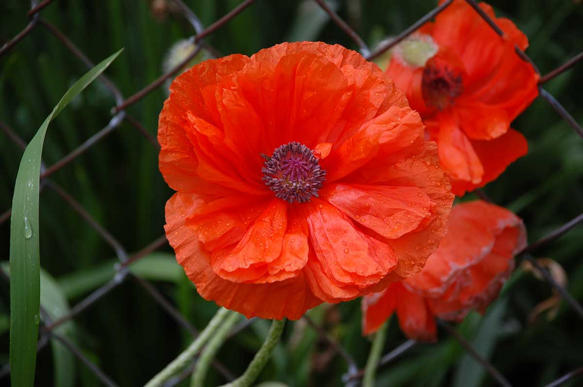 naperville u0027s poppy days lead to memorial day observances